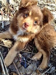 pomeranian x australian shepherd 23 adorable babies that will melt even the stoniest heart u2013 gives