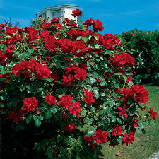 don juan climbing rose at jackson u0026 perkins