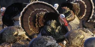 facts about thanksgiving turkey 10 things you didn u0027t know about turkey huffpost