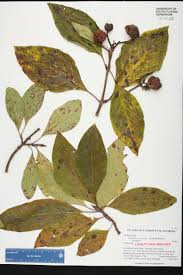native plants of florida pinckneya bracteata species page isb atlas of florida plants