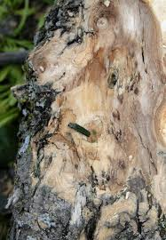 omaha begins treating trees to fight emerald ash borer beetle