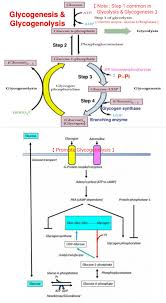 glycogenesis u0026 glycogenolysis note 1st step in