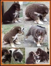 6 week old australian shepherd bandit u0027s spring litter 1 pup4 bet blue eyed red tri male