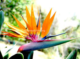 of paradise flower