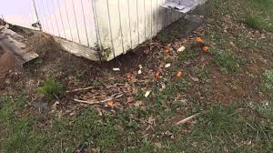 How To Get Rid Of A Skunk In Your Backyard How To Remove A Groundhog Youtube