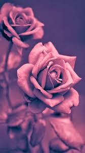 Pink Roses Wallpaper by Rose Wallpapers Iphone Group 73