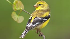 Birds In Your Backyard How To Attract Finches In Your Backyard U2013 Backyard Birds The