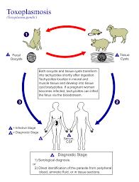 toxoplasmosis wikipedia