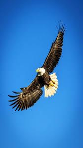 90 best wolf u0026 eagle images on pinterest animals bald eagles