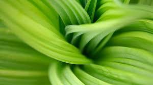 flowers macro green up organic close closeup veratrum nicolas
