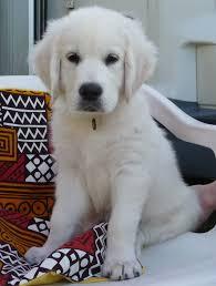 information chiot golden retriever u2013 dogs our friends photo blog