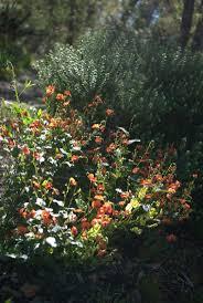 native plants brisbane 514 best australian natives images on pinterest native plants