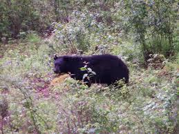 deep creek lake the summer of the black bear deep creek lake blog