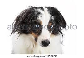 australian shepherd 5 wochen miniature australian shepherd puppy blue merle 10 weeks