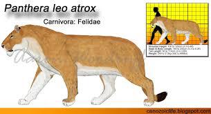 life in the cenozoic era american lion panthera leo atrox