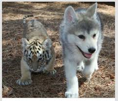 wolf and tiger cubs are hardcoreaww