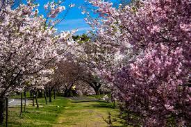 cherry blossom steve s a photographic journey