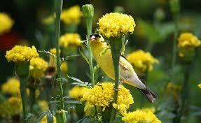 How To Attract Indigo Buntings To Your Backyard Feeding Birds Plants That Attract Birds Seasonal Plants For Birds