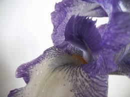 iris in vase u2013 my botanical garden