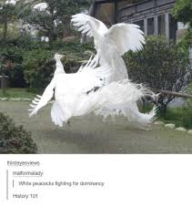 Peacock Meme - thirdevesviews malformalady white peacocks fighting for dominancy