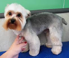 yorkie poo haircut pet grooming the good the bad the furry lamb cut