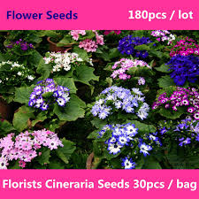 blooming plants blooming plants florists cineraria seeds for planting 180 pcs