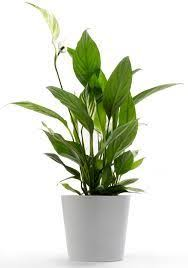 chinese evergreen aglaonema common house plants low light house