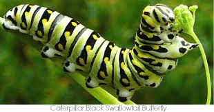 caterpillar symbolism meaning caterpillar totem
