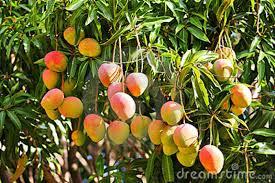 Mango Boom mango tourism real splash of india essence of tourism