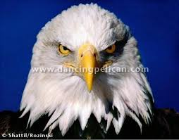 Patriotic Eagle Meme - one up america know your meme
