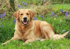 Comfort Retrievers 15 Reasons Why Golden Retrievers Are The Best Dogs Ever