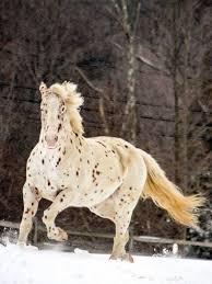 white mustang horse leopard appaloosa