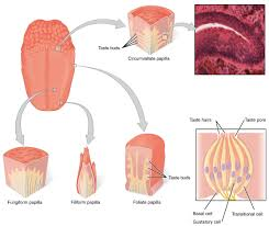 pictures anatomy under your tounge human anatomy diagram