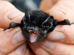 small bat a small bat causes some big concerns ipswich advertiser