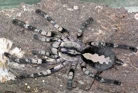 poecilotheria vittata pederson s ghost ornamental tarantulas