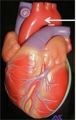 External Heart Anatomy Anatomy Of The External Heart Photo Quizlet Questions U0026 Answers