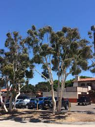 Eucalyptus Trees Co Horts Trees In The Land Of Dr Seuss