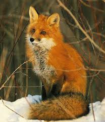 sleeping red fox wallpapers 47 best colors of foxes images on pinterest foxes friendly fox