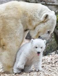 polar bear cub debut at munich zoo for international polar bear day