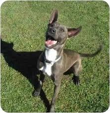 weimaraner vs afghan hound malcolm adopted dog a018494 san clemente ca weimaraner
