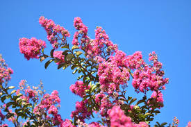 trees with pink flowers my in pink girl to