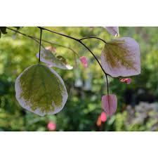 redbud native plant nursery cercis canadensis u0027nccc1 u0027 carolina sweetheart ppaf carolina