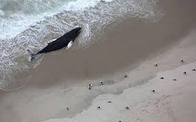 plays on cape cod 2 humpback whales die after stranding on monomoy island the