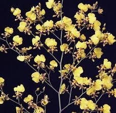 oncidium orchid fresh cut wholesale oncidium orchids flower