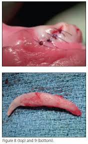 Dog Tooth Anatomy Primary Canine Tooth Extraction In Dogs Veterinary Dentistry