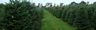 wholesale christmas trees downey tree farm