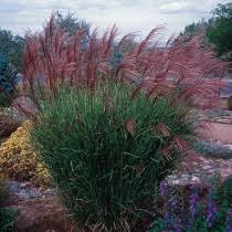 ornamental grasses plants for sale high country gardens