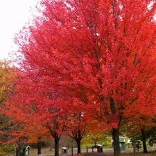 fall color trees maple crabapple nature nursery