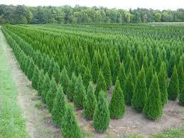 trees for sale trees by brady u2013 brady bennett u2013 winchester wi