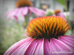 Echinacea Flower Livin U0027 In The Green Echinacea 3 Reasons To Grow This Medicinal